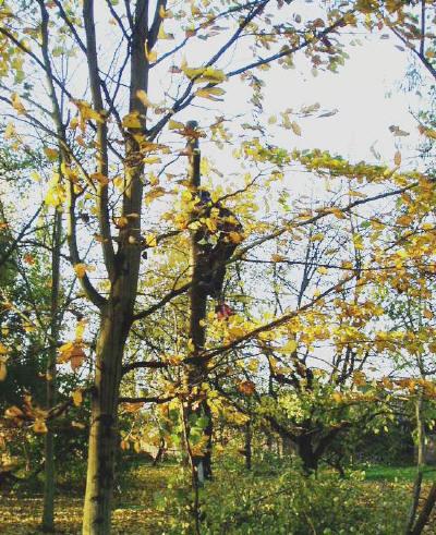 Het kappen van een boom begint vaak IN de boom!